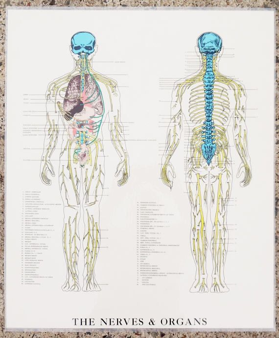 vintage, the nerves & organs, autonomic nervous system chart / anatomy  medical art poster / school chart human body map