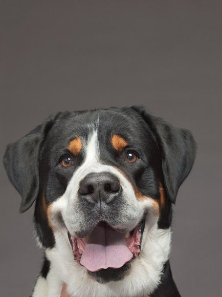 Photograph by Robert Clark  Greater Swiss mountain dog  www.robertclark.com