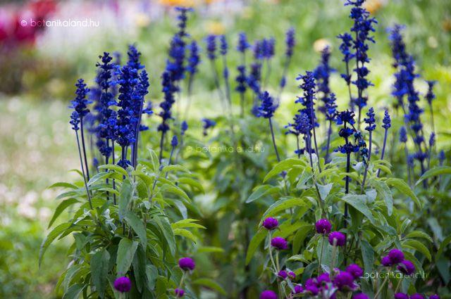 Kifejezetten mutatós lágyszárú évelő növény, melyet hazánkban többnyire egynyáriként termesztenek. Kb.