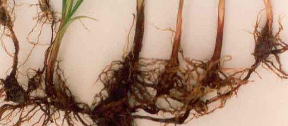 Cuidados com a grama: Como matar ervas daninhas de Jardim e gramado