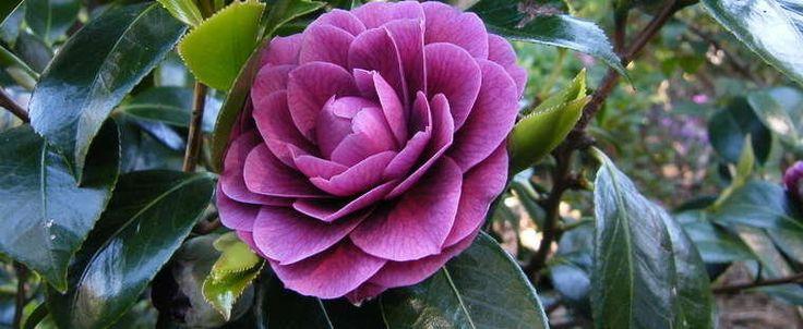 Camellia 'Sir Victor Davies'