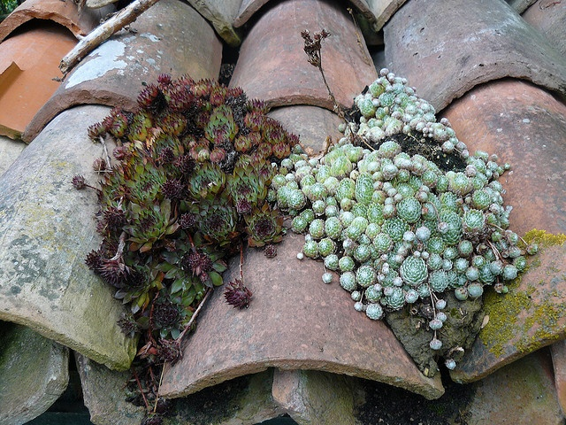 Sempervivums on the house roof...hey, our house is tiled! I'll havre to try some of this!!!