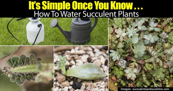 Watering plants correctly has always been a big topic everyone has their own ideas on. This article shares some great ways to water succulent plants correctly. Which in growing succulents, watering could be one of the trickiest parts to master. NOTE: These are ideas… soil type greatly influences watering! You May Also Like: Succulents Dish …