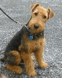 1000+ images about Adorable Adoptables on Pinterest ... Welsh Terrier 6 Months