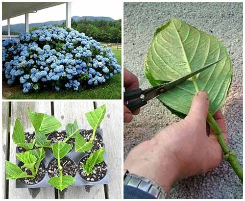 How to Grow Hydrangea from Cuttings Hydrangeas are flowering deciduous plants that can range in size from small bushes to larger tree-like varieties. If you want to grow your own hydrangea plants, you can produce new specimens by growing hydrangeas from cuttings. This is a pretty cool and very frugal way of getting your hands on some beautiful Hydrangea's. I never knew you could take cuttings from this beautiful bush and them grow into full fledged, beautiful bushes like their clones. You…