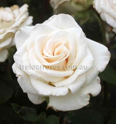 Emely :- Well formed blooms on a healthy, robust plant. A fragrant cut flower.