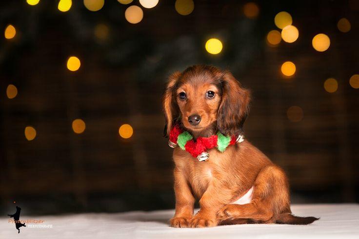 #Pfotenblitzer #tierfotografie #duisburg #nrw #nikolaus #santadogs #dogoftheday #petphotography #pets #hunde #dackel #dackelliebe #doglovers #cuteness #cutenessoverloaded  #puppydog #puppylove #hundewelpen #dackelwelpen #welpen #welpenliebe #welpenliebe♥