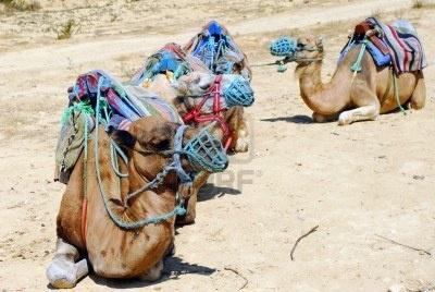 #aspettami #afro #animale #arido #nero #cammello #canarie #sedia #deserto #dromedario #oriente #gruppo #branco #vacanze #caldo #isole #giordania #paesaggio #natura #parco #cavalcare #equitazione #sella #sabbia #cielo #spagna #estate #turismo #turista #trasporti #mezzi di trasporto #viaggi #tropicale #vulcano #attesa