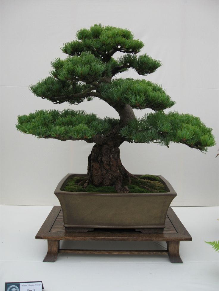 Incredible Japanese pine