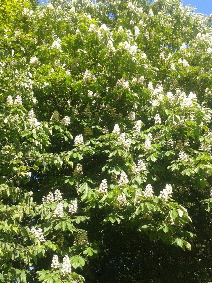 Jírovec maďal, květ, strom