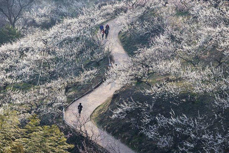 "810 Likes, 5 Comments - 풍경,여행,사진. Beauty of Korea! (@korean_landscape) on Instagram: """"M road""  따뜻한 봄을 거닐었던 날! 그곳의 매화향이 지금도 코끝에서 사라지지 않네요!  Location : Gwangyang. Korea.  #인스타그램 #인스타 #사진…"""
