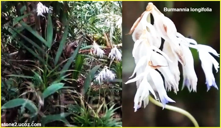 انواع نبات البرمانة العشبي Burmannia قوائم النبات قوائم النبات معلومان عامه معلوماتية Plants