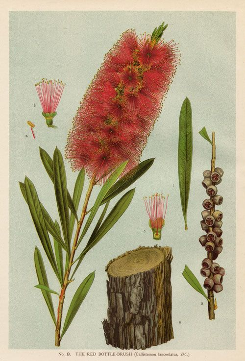 Australian Botanical Illustration  Callistemon citrinus    Common Red Bottlebrush    artist: Edward Minchen (1862-1913)      from: 'The Flowering Plants and Ferns of New South Wales - Part 2' (1895)  by J H Maiden  NSW Government Printing Office  Published as: Callistemon lanceolatus