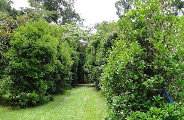 Grumichama - beautiful tree 3-5 metres, produces delicious cherry type fruit...Exotic Tropical Fruit - Cape Tribulation