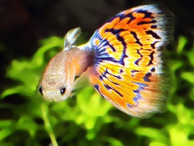 75 best guppies images on pinterest guppy tropical fish for Guppy fish care