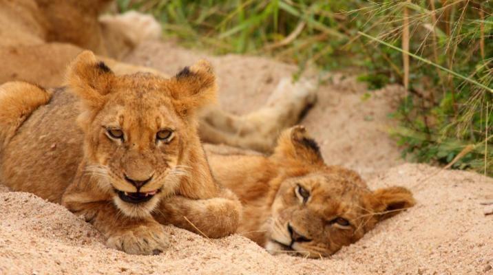 Se løver på safari i Chobe Nationalpark