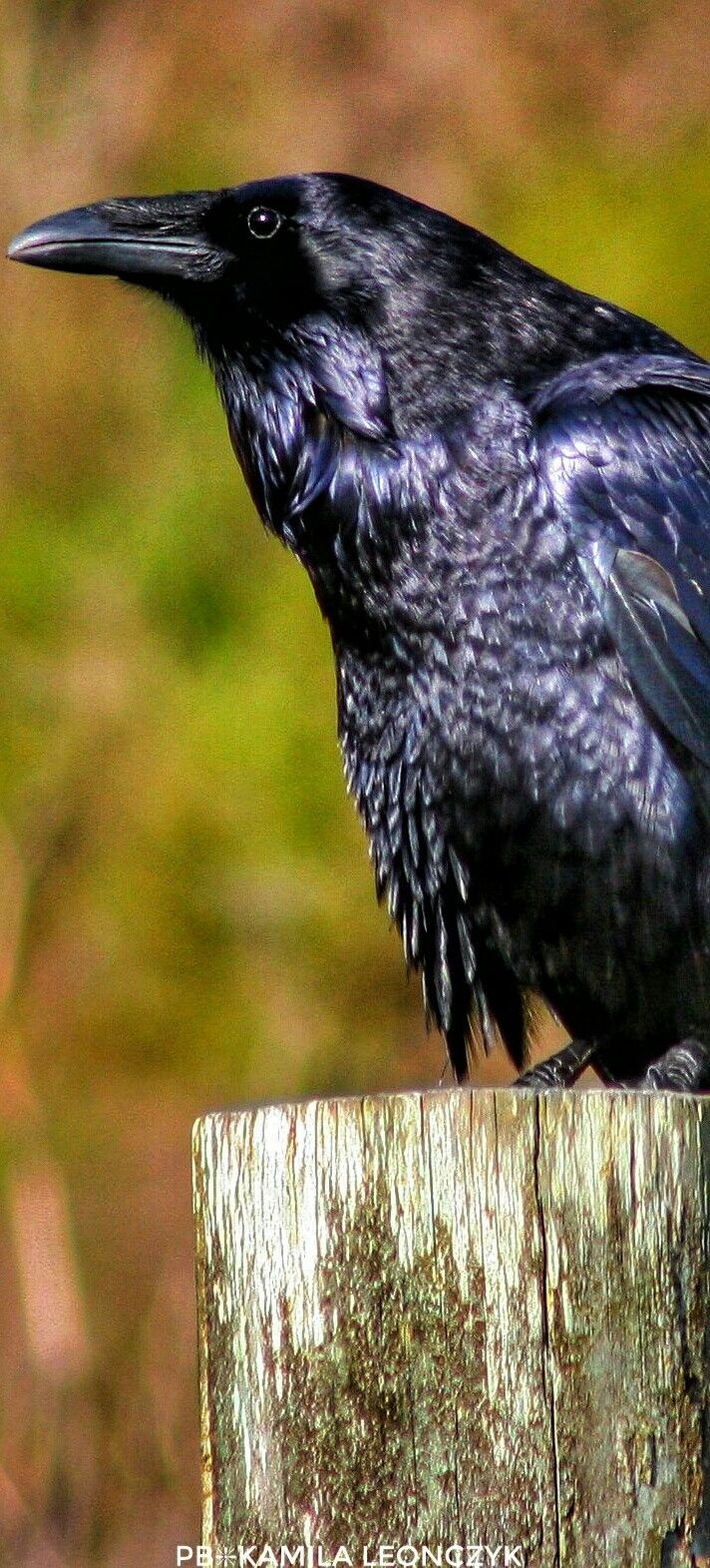 457 best animals images on pinterest beautiful birds feathers the common raven corvus corax also known as the northern raven is buycottarizona