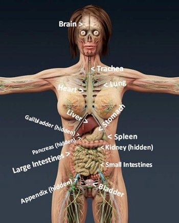 Diagram of organs of the human body