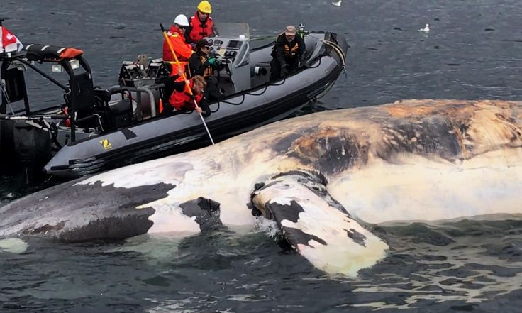 """Carcasses found off Canada in recent weeks in what may be biggest single die-off of one of world's most endangered whale species, expert saysSeven North Atlantic right whales have been found floating lifelessly in the Gulf of St Lawrence, off Canada, in recent weeks, in what is being described as a """""""