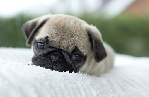 Cute Pug Puppy, so sweet. #Ilovepugs #pugpuppy
