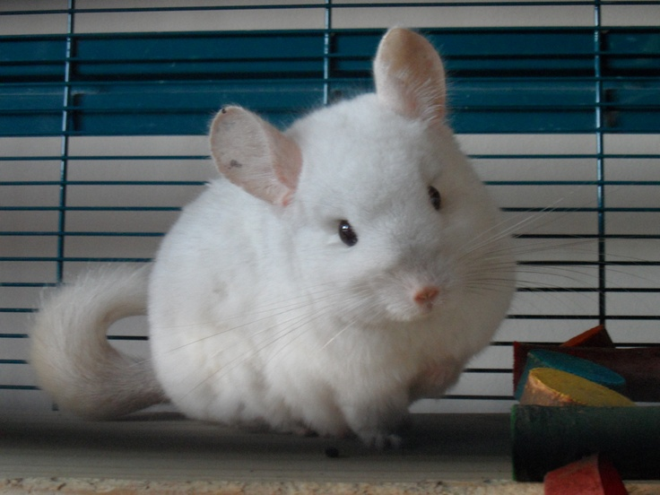 Is that a white Chinchilla?! • •Kawaii Files