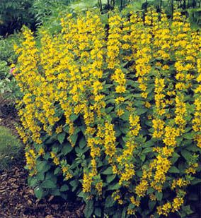 Lysimachia Punctata Yellow Loosestrife Great Options For Tall Landscaping This Particular One Spreads Though