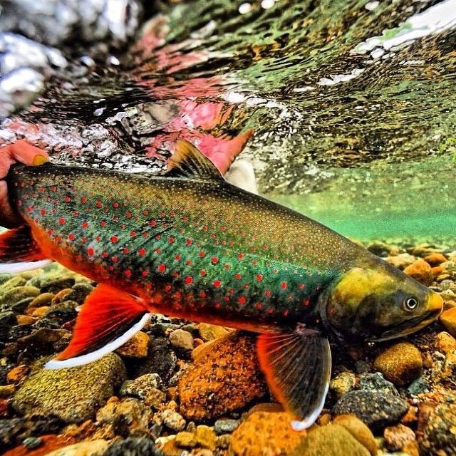 1000 images about dolly varden on pinterest the fly for Dolly varden fish