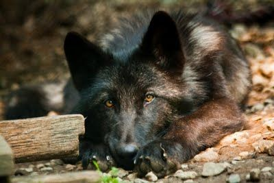 As a family Christmas gift we 'adopted' Zephyr in support of the Wolf Conservation Center...nywolf.org...check out the rest of the pack!