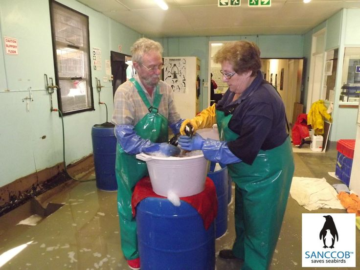 Washing an oiled African Penguin @ SANCCOB Cape Town