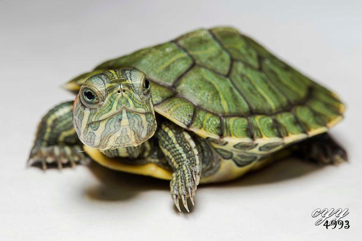 ... pond turtles, water turtles reptiles Pinterest Turtles, Water