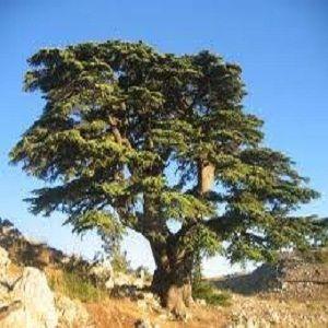 фото дерево кедр (картас) 2