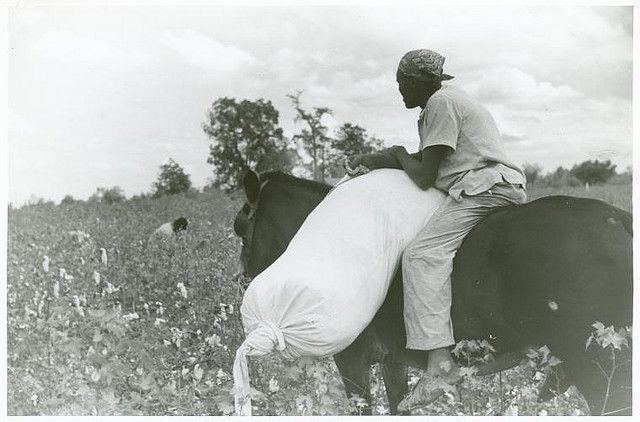 Cotton plantation worker, hired as a day laborer, riding a mule and holding down a sack of cotton in the cotton field at Nugent Plantation, Benoit, Mississippi Delta, Mississippi, October 1939