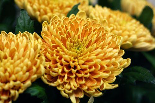 Chrysanthemum Rosanno orange http://holmsundsblommor.blogspot.se/2014/10/ett-snitt-av-vart-snitt.html