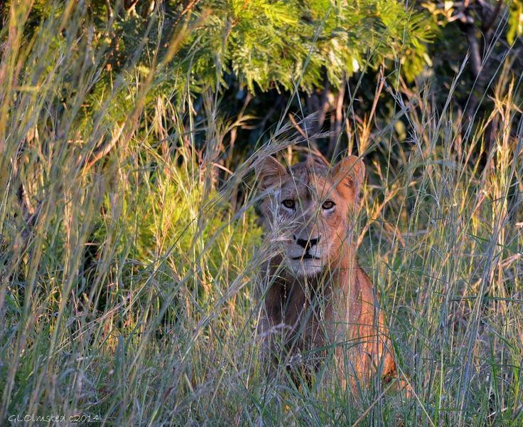 In honor of World Lion Day at Kruger National Park South Africa http://geogypsytraveler.com/2014/08/10/world-lion-day-2014/