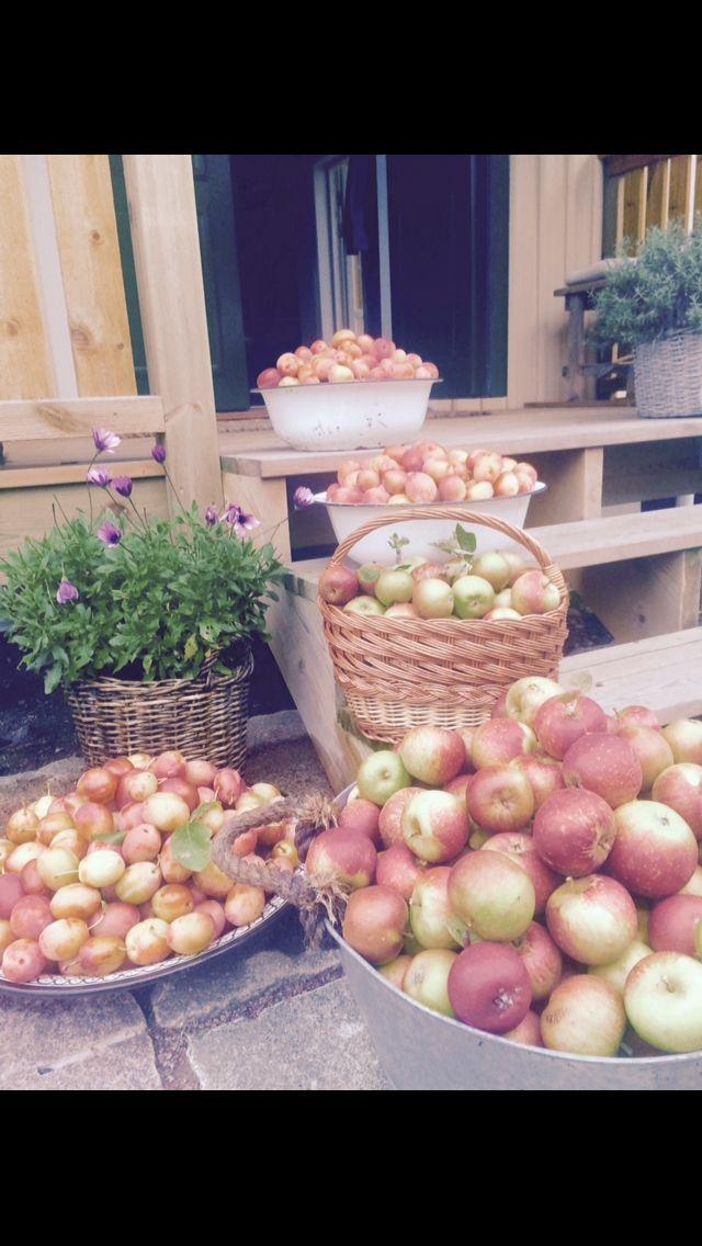 Skördetid för äpplen, päron och plommon. En fattig lila Stjärnöga i bakgrunden.