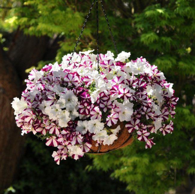 Stunning ideen balkonbepflanzung petunie weiss purpur streifen robust blume