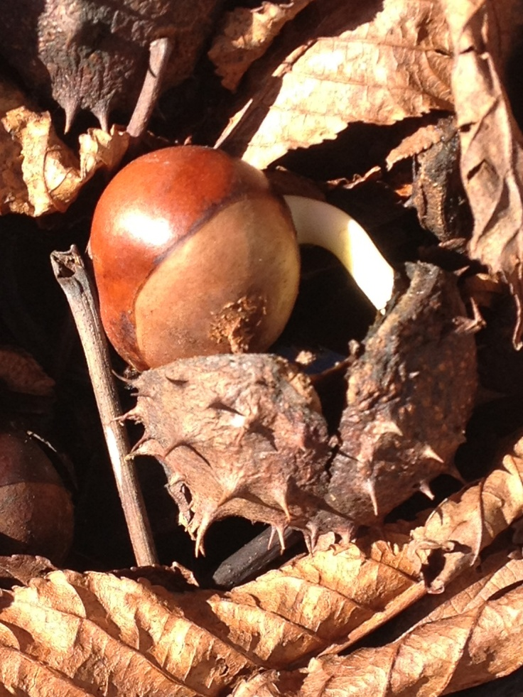 Open chestnut with a rusted tint