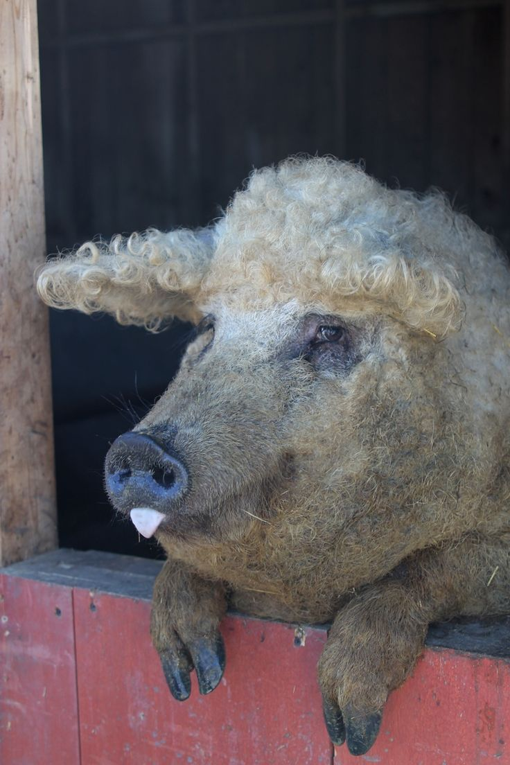 Pig with curly blonde hair. Future farm y'all. Im going to have some crazy looking pigs ;)