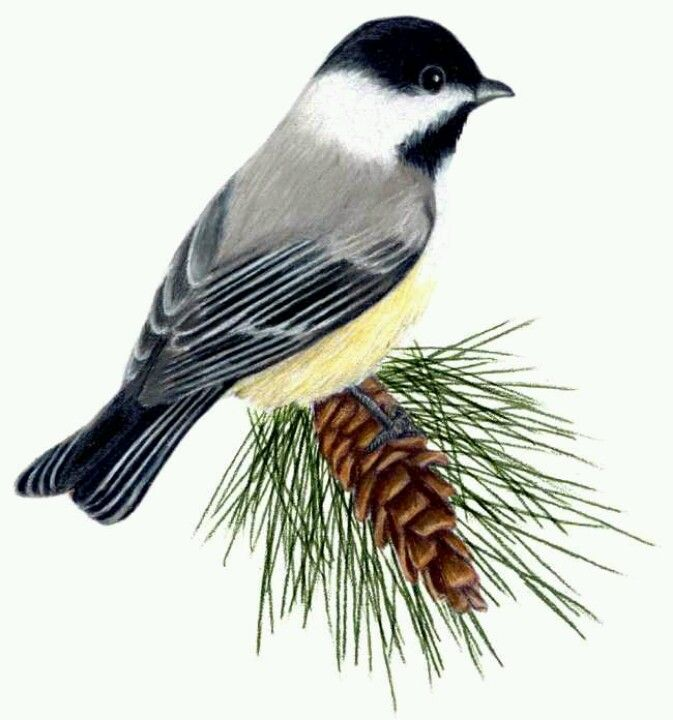 Black Capped Chickadee And White Pine Cone And Tassell