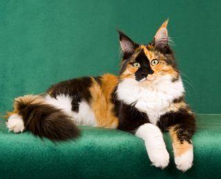Calico kedileri hakkında 6 ilginç gerçek | Ukala Hayvan