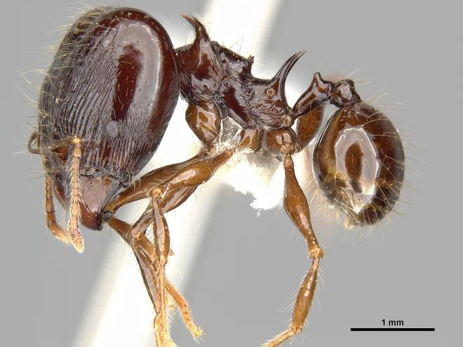 """PHEIDOLE DROGON The spiny back of Pheidole drogon reminded scientists of the fierce Drogon, a black dragon from the """"Game of Thrones"""" book series by George R. R. Martin, which has also been adapted into a television series on HBO. While the new ant species is far smaller than its fantastical namesake, the insect's dragon-like spine likely acts as an anchor for the species' large muscles, according to researchers."""
