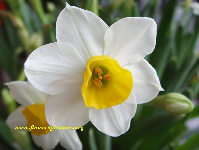 Narcissus: Also Known as a daffodil.  It means new beginnings and will ensure happiness.  It is used during ten year anniversaries.  The narcissus became popular in Europe after the 16th century.   It has been used for medical purposes but if ingested it could be poisonous.