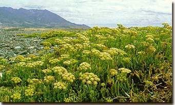 25 crithmum maritimum seeds / κρίταμο / finocchio marino / sea fennel / rock samphire / seeds