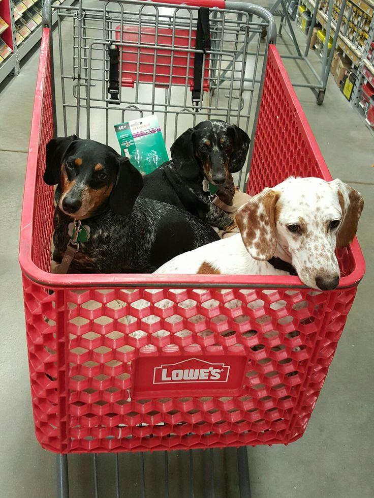 dachshunds: piebald with black & tan dapples