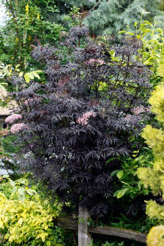 25 trending sambucus nigra black lace ideas on pinterest. Black Bedroom Furniture Sets. Home Design Ideas