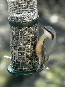 Artenvielfalt:So locken Sie seltene Vögel an  Normalerweise finden sich in einem Garten immer wieder die gleichen Vogelarten, wie die Amsel, die Blaumeise und der Haussperling ein