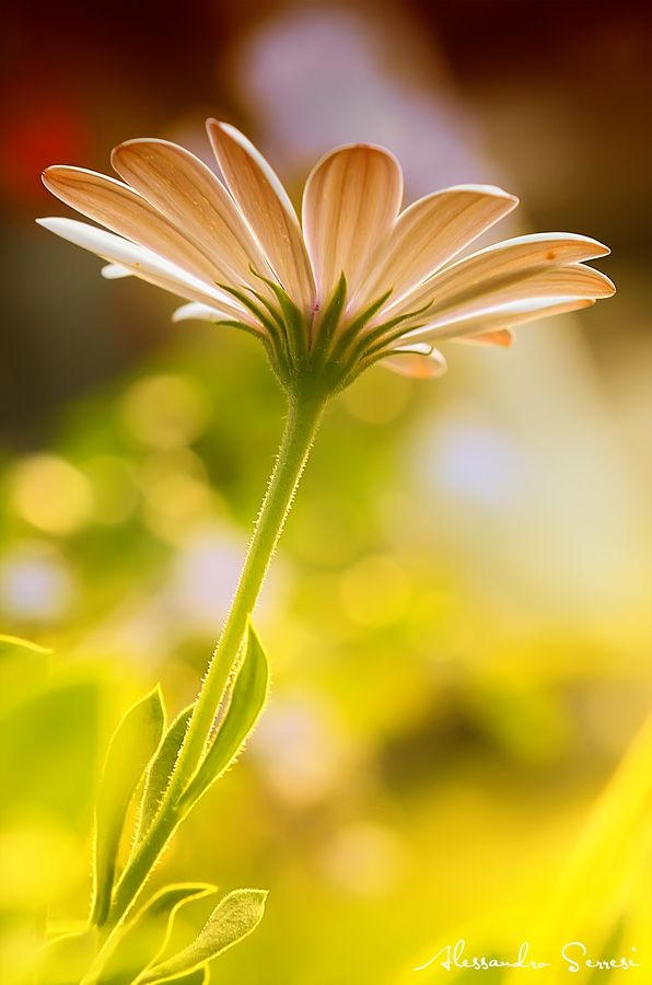 The Flower -- by Alessandro Serresi Stunning photography, and it's my favourite flower! :-D