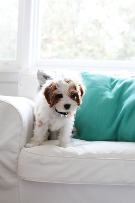 Cavoodle Puppy.... I just can't even! <3 <3