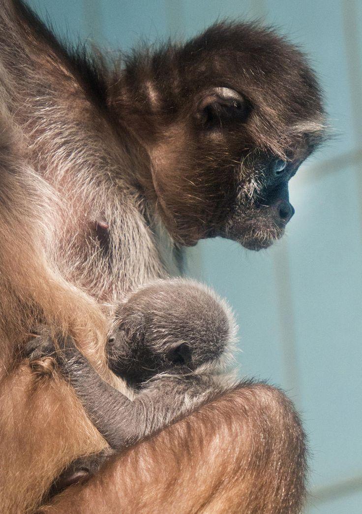 Goldstirn-Klammeraffe mit Baby