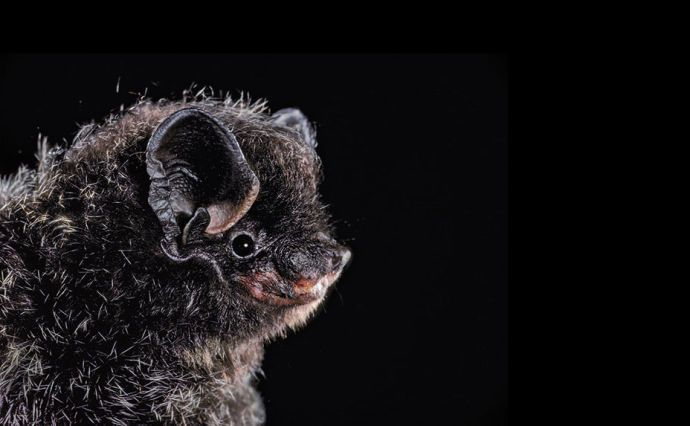 Silver-haired bat (North America)